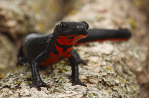 fire bellied newt